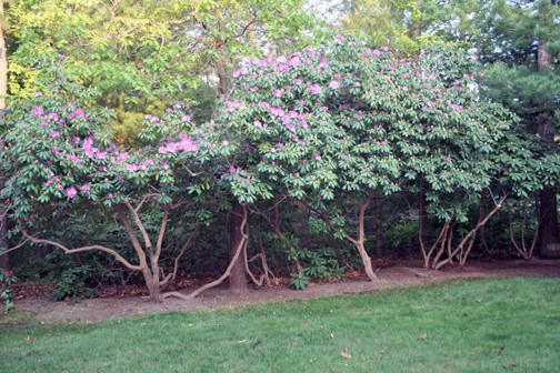 Gardenlady Com The Too Large Rhododendron