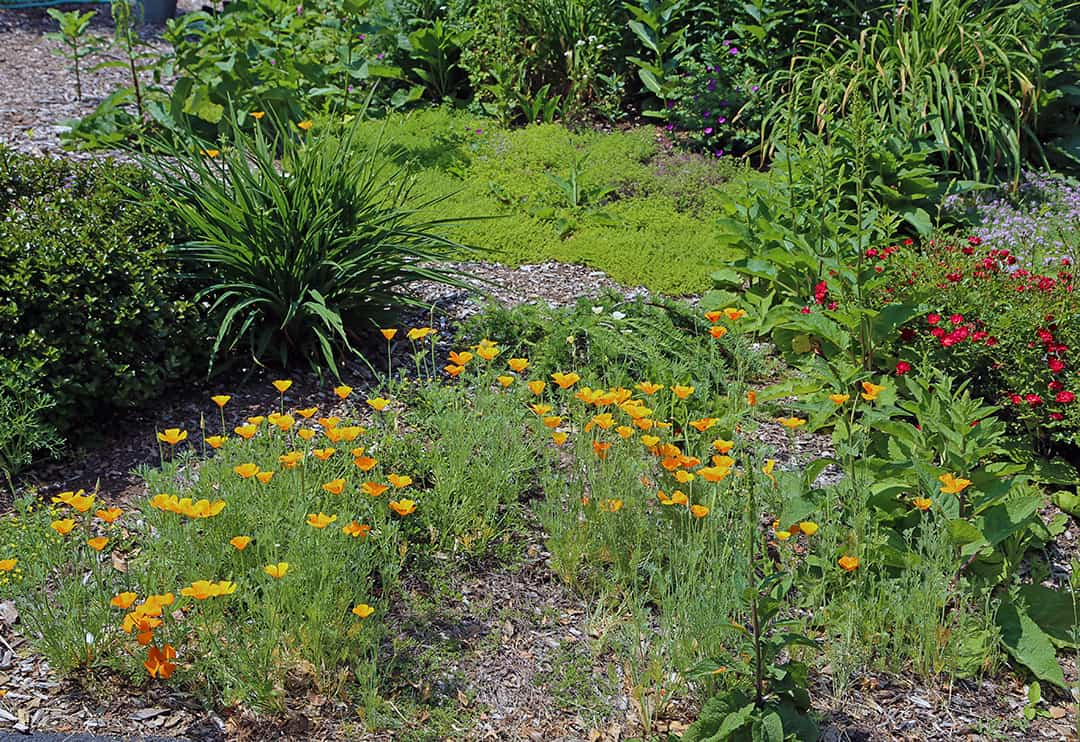 Sow California poppy seeds where you want something blooming early in the summer.