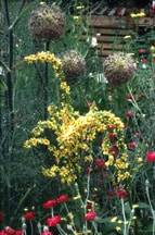 Verbascum, Queen Anne's Lace and Lychnis