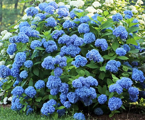 hydrangea endless summer gardenlady why doesn t my endless summer hydrangea 28837