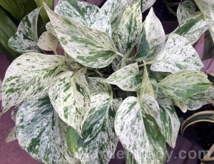 This pothos is not only easy to grow but contrasts nicely with your other plants.