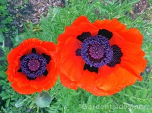 """These oriental poppies are among the most outrageous of flowers. I imagine that I hear them calling to each other, """"Let's put on lipstick and go OUT!"""""""