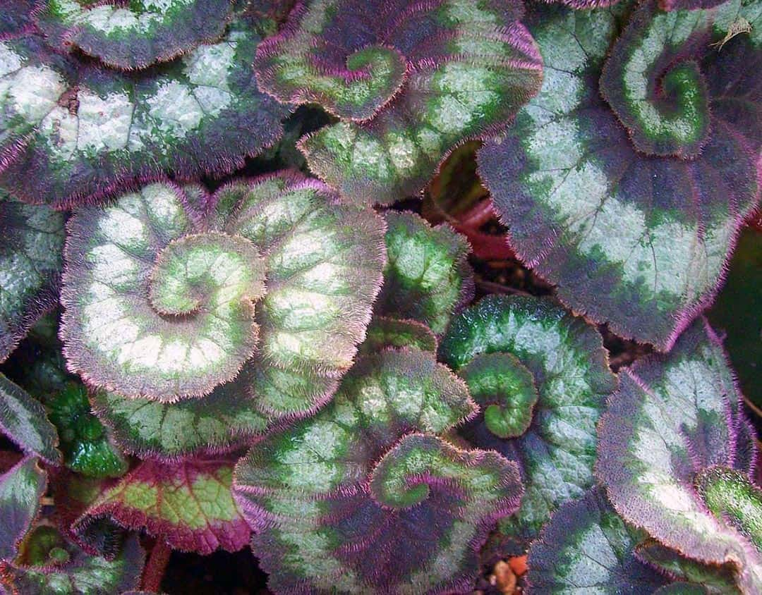 Rex begonias can have leaves that spiral inward.