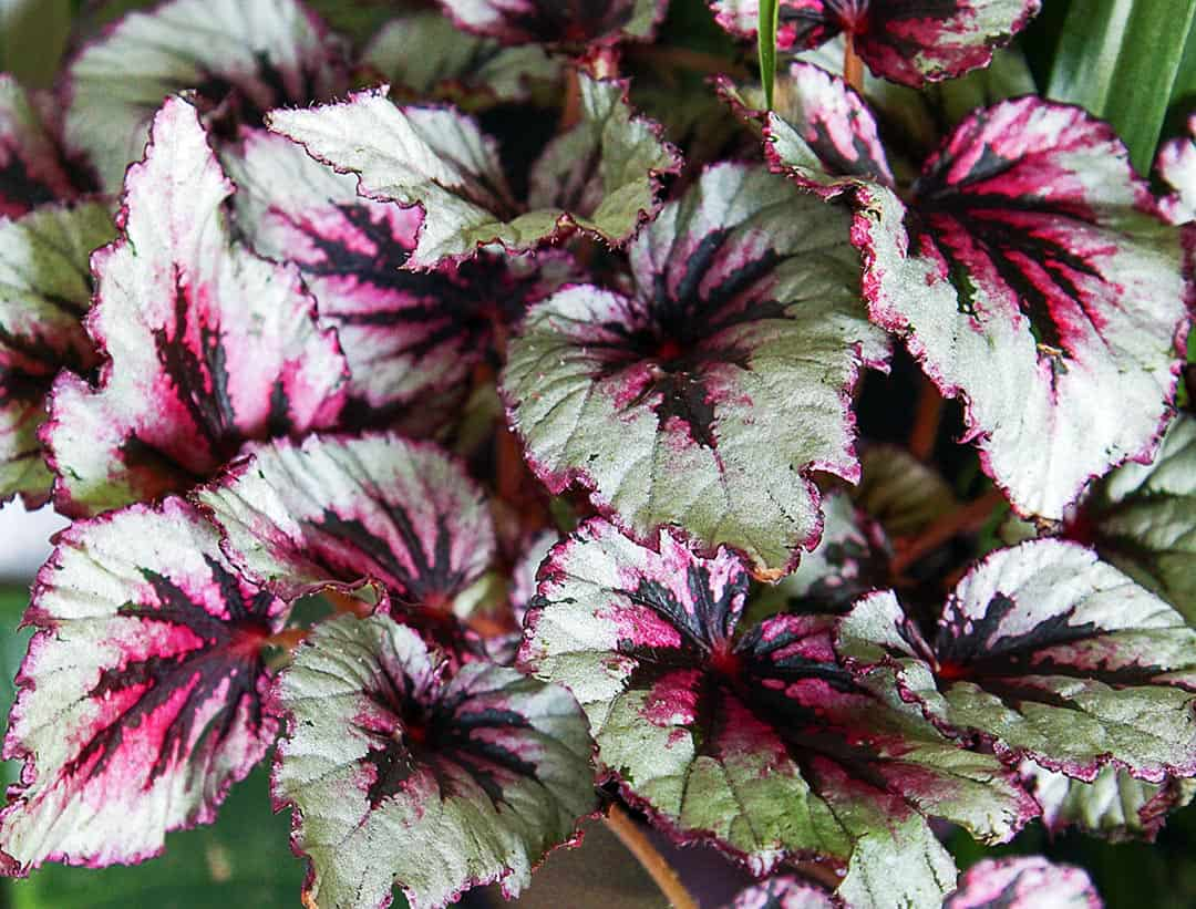Rex begonias don't usually have showy flowers but their leaves are as colorful as many blooms. Grow them in shade.