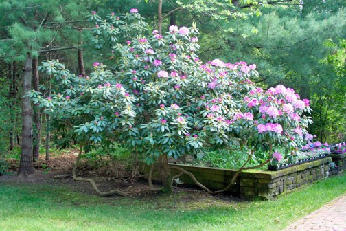 rhododendron limbup