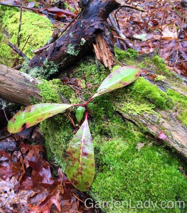 """When I was walking the dog in a local conservation area, I saw this self-seeded Rhododendron. It had sprouted on top of a moss-covered log. Will the log rot fast enough in order for the rhody to put roots in actual soil? Probably. But the fact that this seed germinated in the """"wrong place"""" to begin with, yet is doing so well, is a demonstration of the resiliency of plants."""