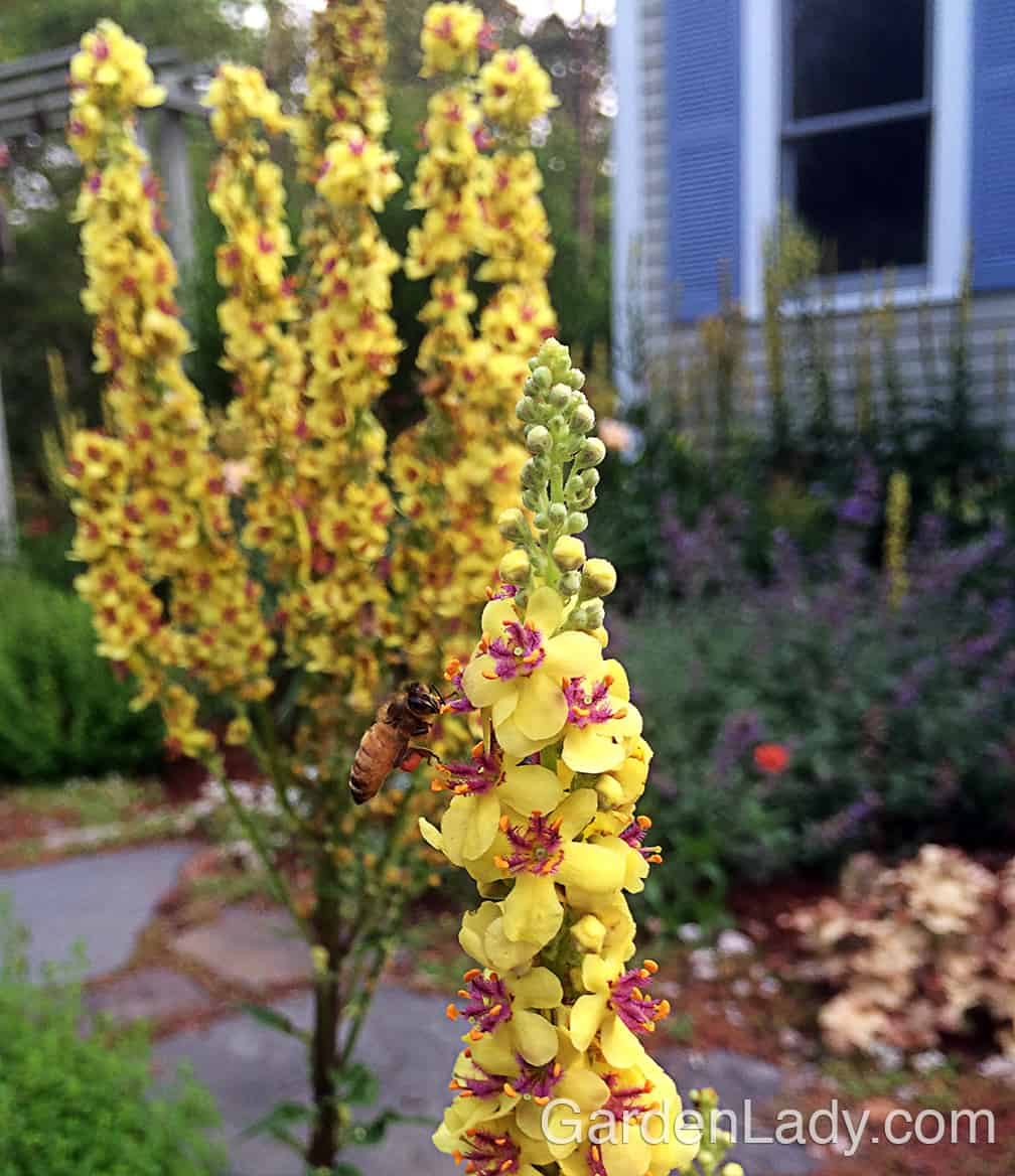All types of bees love Verbascum, so it's a good plant for attracting pollinators and supporting honey bees.